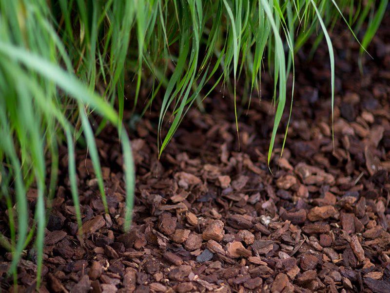 BVB Landscaping Schors Pinus Maritima Premium